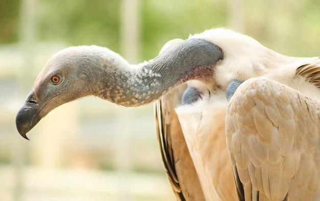 Bliska strzał afrykańskiego sępa, padlinożernego ptaka drapieżnego na rozmytym tle