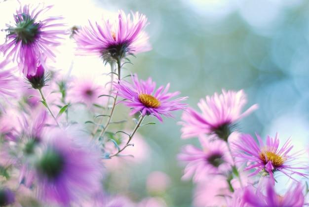 Bliska strzał astry fioletowe kwiaty