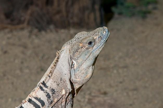 Bliska strzał głową z meksykańskiej iguany ostroogoniastej, ctenosaura pectinata.