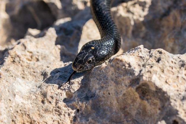 Bliska strzał głowy dorosłego czarnego zachodniego węża biczowego, hierophis viridiflavus, na malcie