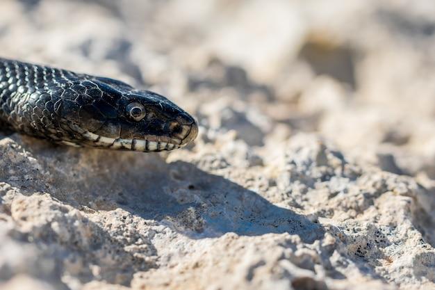 Bliska strzał głowy dorosłego węża czarnego bicza zachodniego, hierophis viridiflavus, na malcie