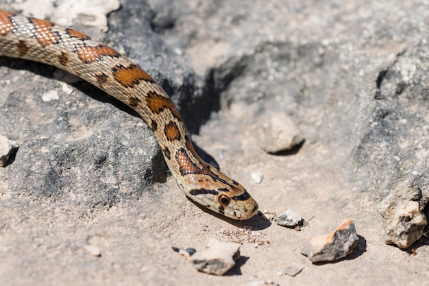 Bliska strzał głowy dorosłego węża lamparta lub europejskiego ratsnake, zamenis situla, na malcie