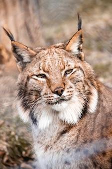 Bliska strzał kota linx