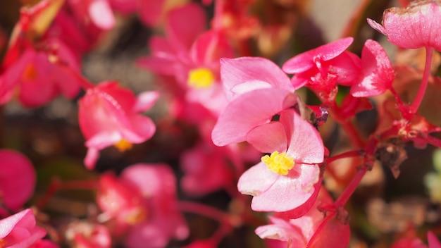 Bliska strzał kwiatów begonii latem w japonii hokkaido.