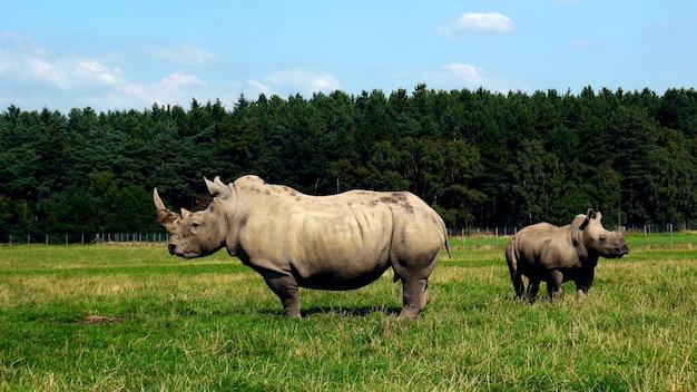 Bliska strzał nosorożca indyjskiego na tle lasu