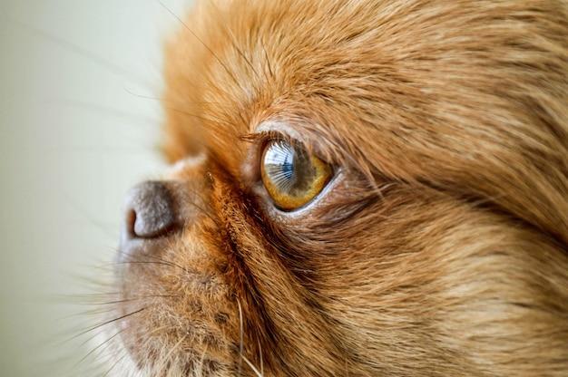 Bliska strzał pekińskiego szczeniaka z krótkimi włosami