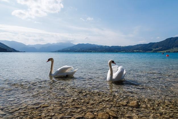Bliska strzał pięknych białych łabędzi w jeziorze w słoneczny dzień