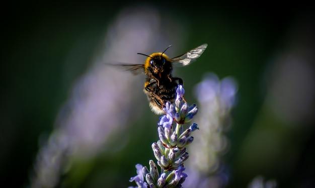 Bliska strzał pszczoły zbieranie nektaru z kwiatka w rozmytym tle