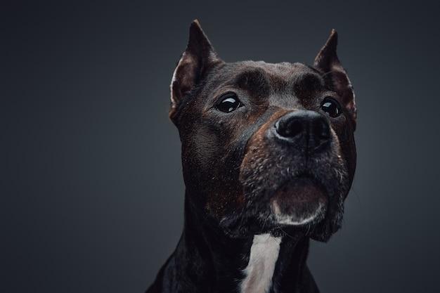 Bliska strzał studio psów ras staffordshire bull terrier z ciemnym brązowym futrem.