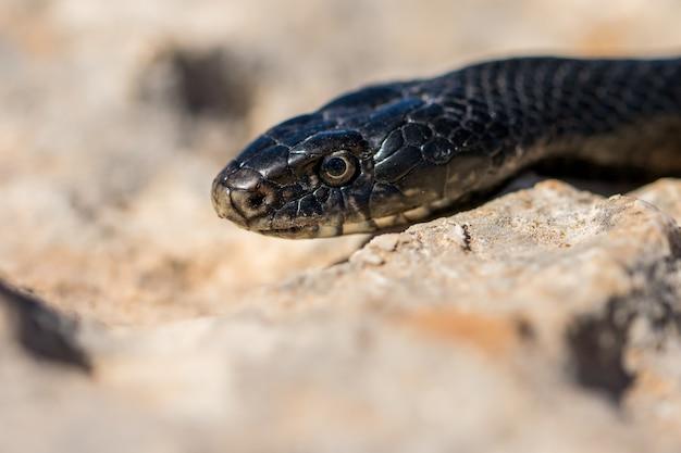 Bliska strzał twarzy dorosłego czarnego węża bicza western, hierophis viridiflavus, na malcie