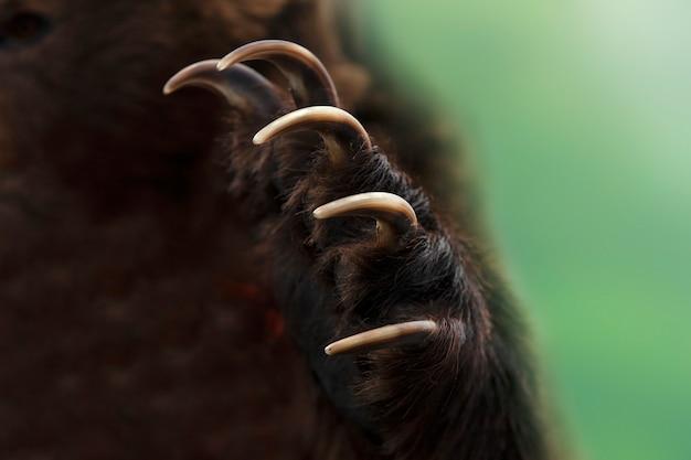 Bliska strzał z łapy niedźwiedzia brunatnego kamczatki