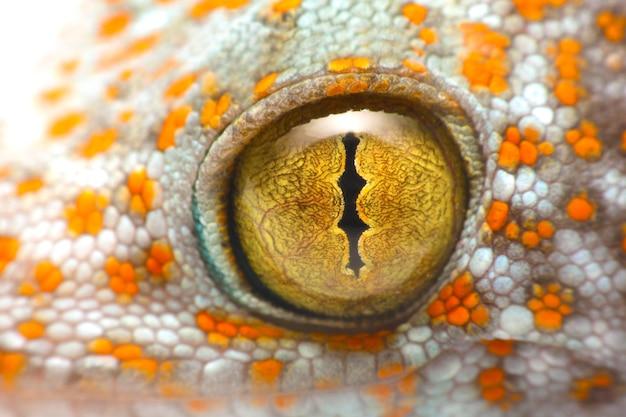Bliska strzał z oka tokaj gecko