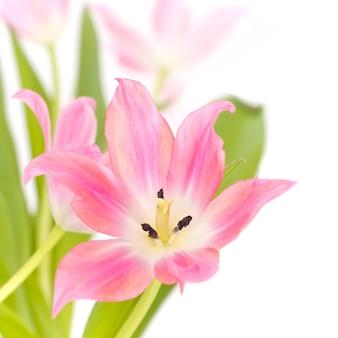 Bliska strzał z różowej lilii z zielonymi liśćmi na białym