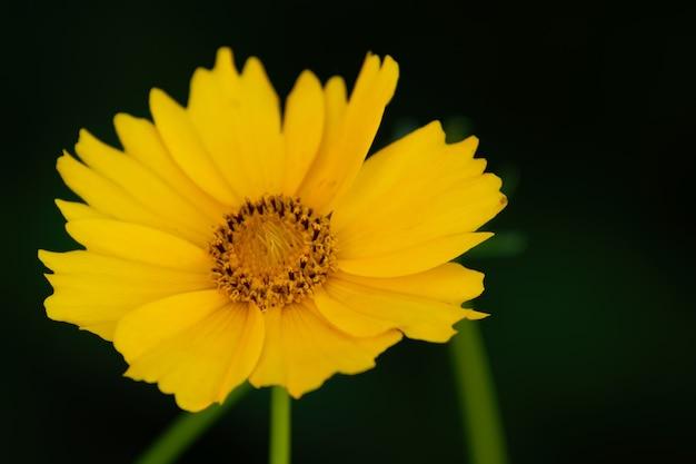 Bliska strzał żółtego kwiatu tickseed na niewyraźne