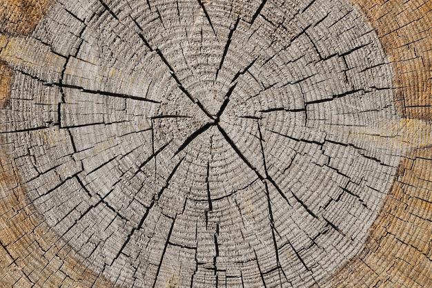 Bliska szare tło tekstury starego zwietrzałego przekroju pnia drzewa z pęknięciami drewna i wzorem słojów rocznych, podwyższony widok z góry, bezpośrednio nad