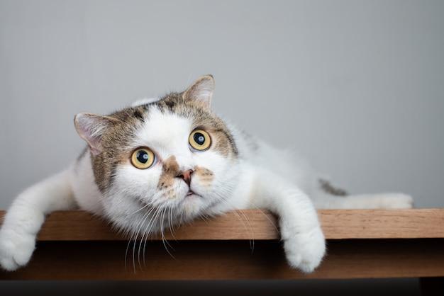 Bliska szkocka głowa kota z szokującą twarzą i szeroko otwartymi oczami