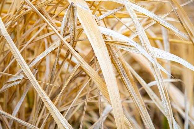Bliska tekstura tła suchej trawy