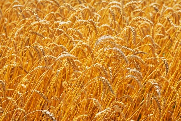 Bliska widok na wierzchołkach roślin rolniczych koncepcji pszenicy