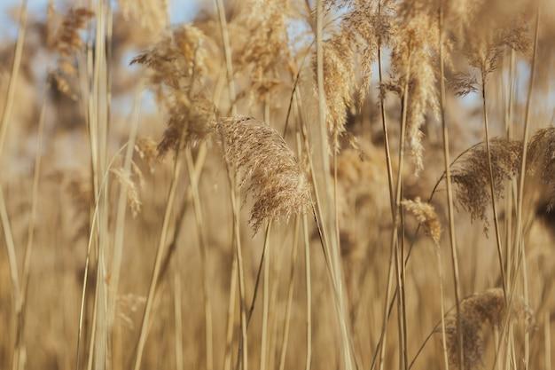 Bliska widok roślin trawy pampasowej
