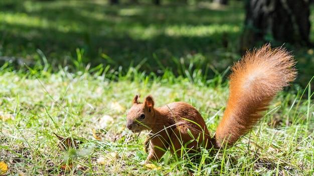 Bliska wiewiórka czerwona jedzenie orzechów w lesie jesienią. tomsk, syberia