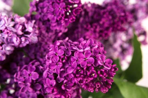 Bliska wiosennych fioletowych kwiatów bzu