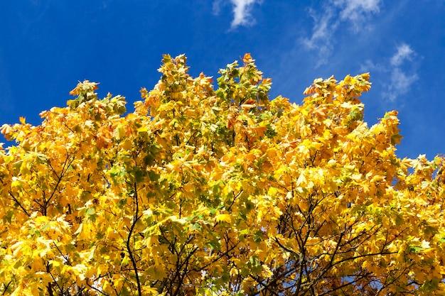 Bliska z pożółkłych liści klonu w sezonie jesiennym, błękitne niebo w tle