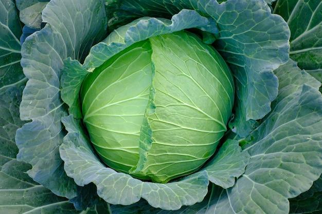 Bliska, zielona kapusta świeża dojrzewających głów rosnących w polu gospodarstwa