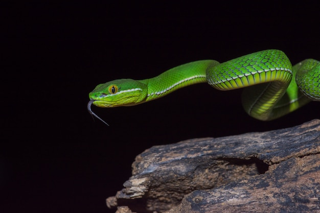 Bliska żółty wąż zielony żmija pit pit