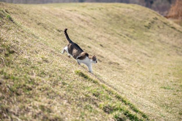 Blisko natury. kot biegający po zielonej trawie po zboczu spaceru na świeżym powietrzu w słoneczny wiosenny dzień