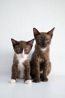 Bliźniaczy rodzeństwo małego kota figlarki siedzący portret na biel ściany tle