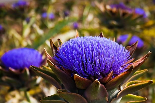 Bloomed karczochy z pszczoła szukasz żywności