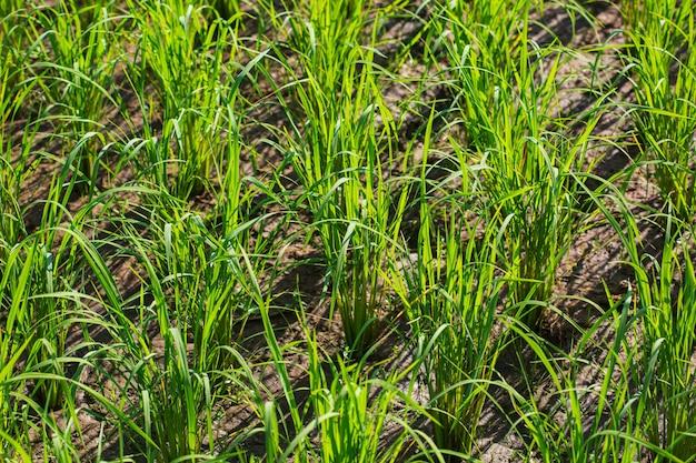 Błoto z kiełków ryżu w sadzonkach ryżu z naturą zielonym tłem rolnictwo