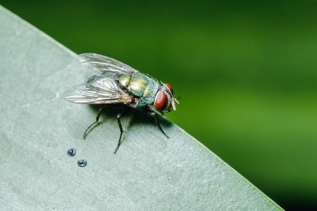 Blow fly na liściach można znaleźć w społecznościach, które mają ścieki.