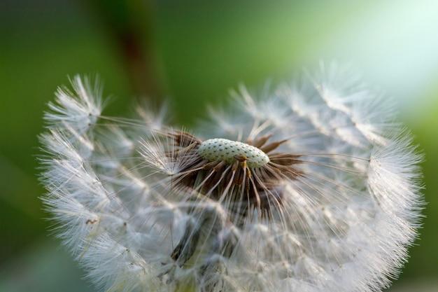 Blowball w słonecznej łące wiosny.