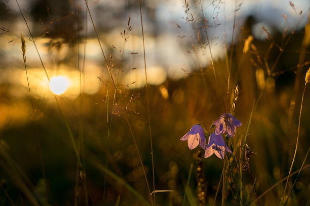 Blue bell kwiaty w słońcu. piękne łąki z polnymi kwiatami z bliska.