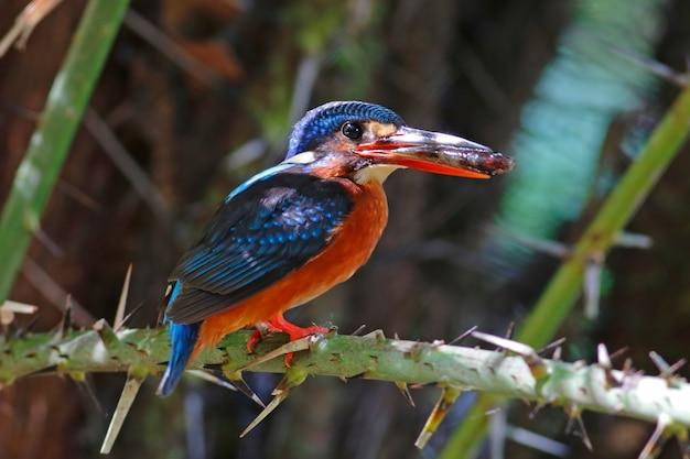 Blue-eared zimorodek alcedo meninting piękne kobiece ptaki z tajlandii jedzenia ryb