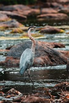 Blue heron fishing w rzece