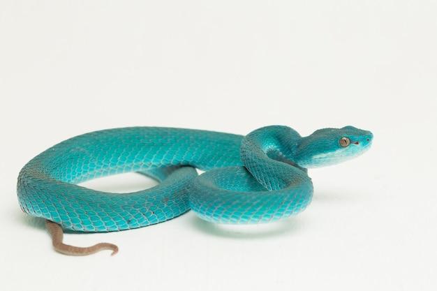 Blue insularis białowargi island pit viper wąż na białym tle
