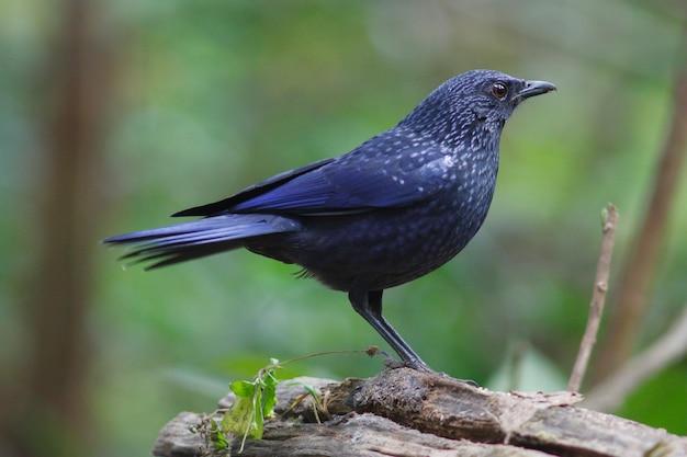 Blue whistling thrush myophonus caeruleus piękne ptaki tajlandii