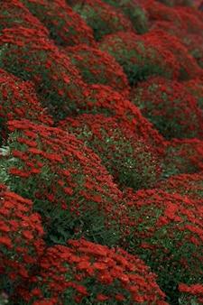 Bluming czerwona jesień streszczenie tekstura chryzantemy
