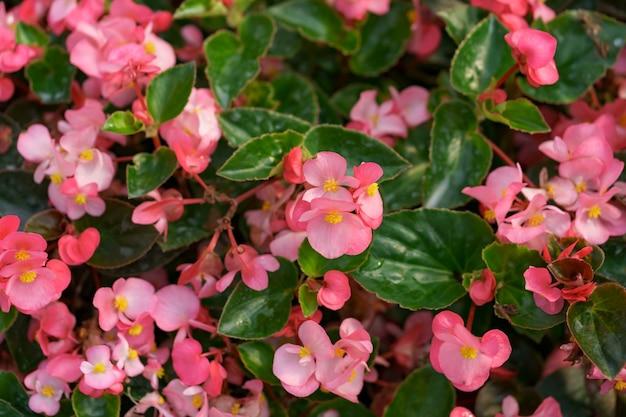 Bluming różowa jesień pelargonie streszczenie tekstura