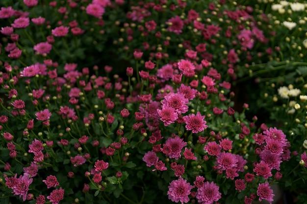 Bluming różowy upadek streszczenie tekstura chryzantemy