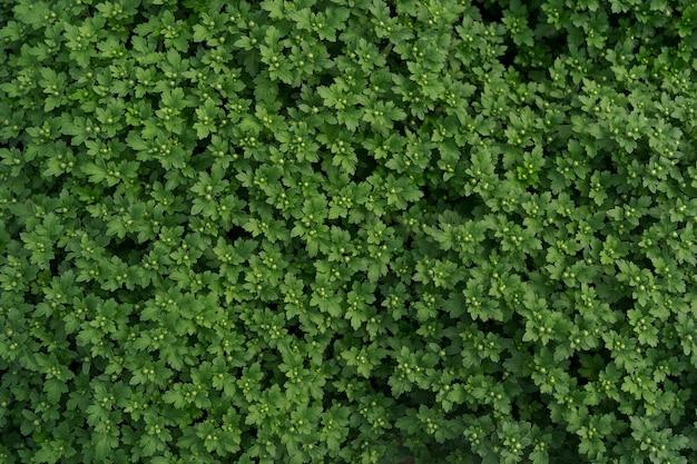 Bluming zielony świeży chryzantema streszczenie tekstura