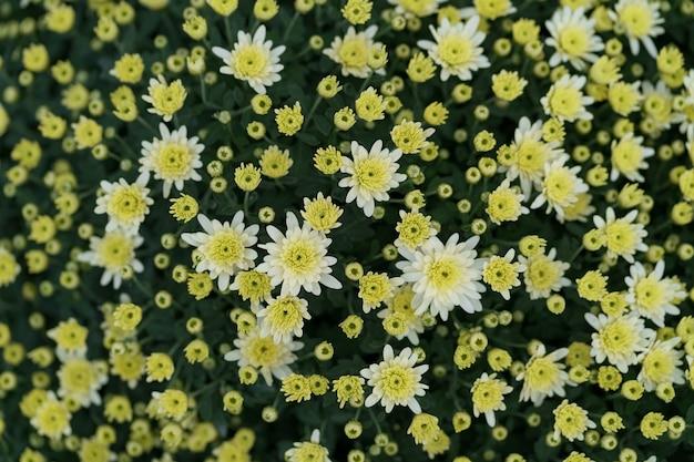 Bluming żółty spadek chryzantemy streszczenie tekstura