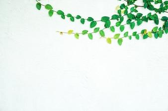 Bluszcz liści na białym tle na białym tle