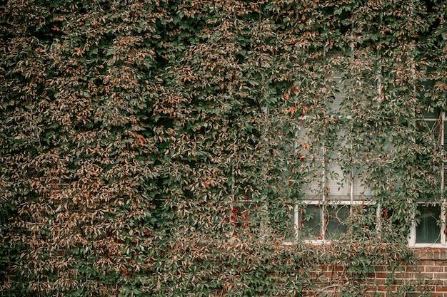 Bluszcz na ścianie domu. jesienne liście bluszczu na starych oknach.