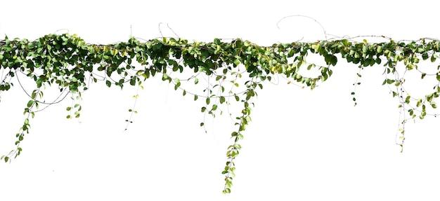 Bluszcz roślin izolat na białym tle