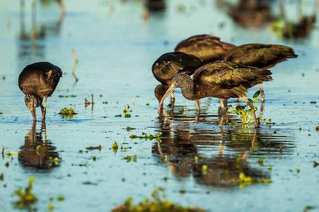 Błyszczący ibis (plegadis falcinellus) na polu ryżowym w parku przyrody albufera w walencji, walencja, hiszpania.