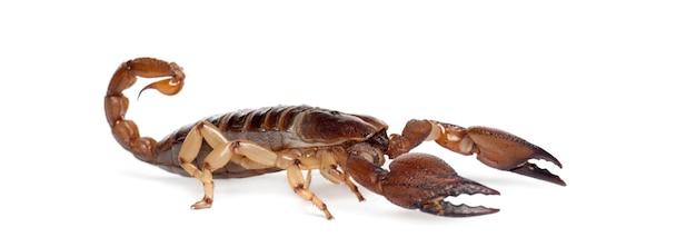 Błyszczący skorpion grzebiący lub żółtonogi pełzający skorpion, opistophthalmus glabrifrons, na białej powierzchni
