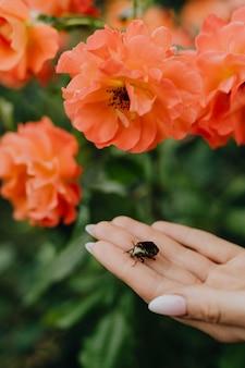 Błyszczący zielony chrząszcz na dłoni przy pomarańczowych różach